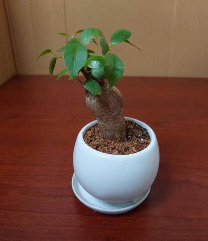 受験生がメンタルを病んだら観葉植物ガジュマル